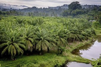 Smallholder oil palm plantations are a common sight in Mandailing Natal, North Sumatra.